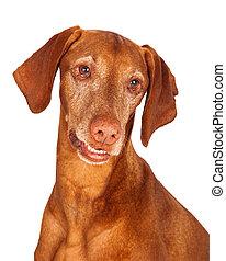 Vizsla Dog Closeup Looking Down