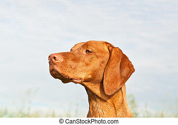 A closeup shot of a Vizsla dog that is staring into the distance.
