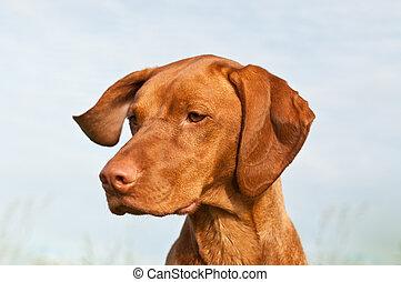 Vizsla Dog (Hungarian Pointer) Closeup - A closeup shot of a...