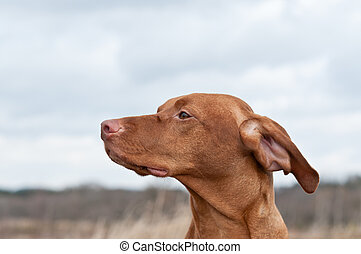 Vizsla Dog (Hungarian Pointer) in a Field