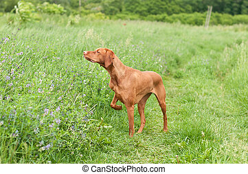 A shot of a Vizsla dog (Hungarian Pointer) pointing in a grassy field.