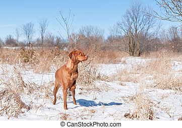 Vizsla dog (Hungarian pointer) pointing in a snowy field.
