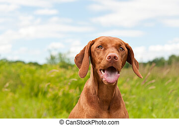 A closeup shot of a Vizsla dog (Hungarian Pointer) in a field.