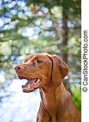Vizsla dog (Hungarian pointer) portrait