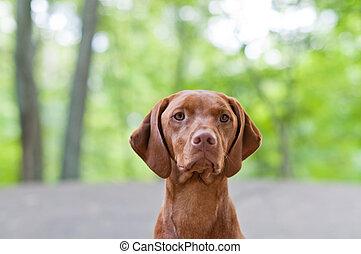 A closeup shot of a Vizsla dog (Hungarian Pointer) with shallow depth of field.