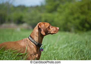 A purebred Vizsla dog (Hungarian pointer) stands in a green field in the springtime.