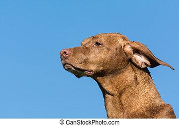 Vizsla Dog (Hungarian Pointer) with Blue Sky.