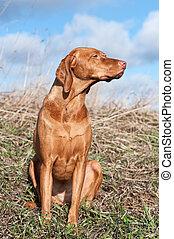 Vizsla Dog in a Field
