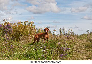 A Vizsla dog stands in a field in autumn.