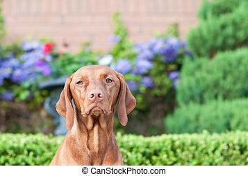 Vizsla Dog in a Garden