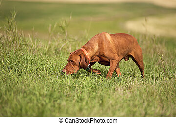 Vizsla dog in field