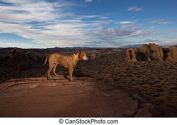 vizsla dog in the Valley of Fire
