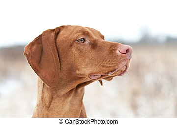 Vizsla Dog in Winter