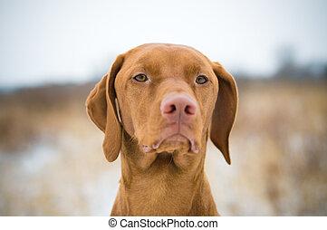 Vizsla Dog in Winter