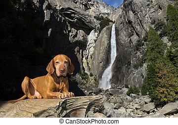 vizsla dog in Yosemite
