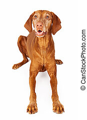 Vizsla Dog Laying Happy Expression