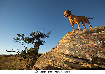 vizsla dog on a cliff