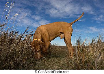 vizsla dog outdoors sniffing the ground