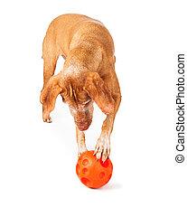 Vizsla dog playing with toy