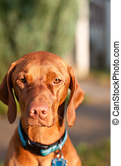 Vizsla Dog Portrait