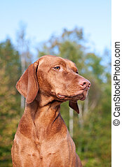 Vizsla Dog Portrait in Autumn