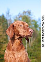 Vizsla Dog Portrait in Autumn