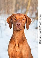 Vizsla Dog Portrait in winter.