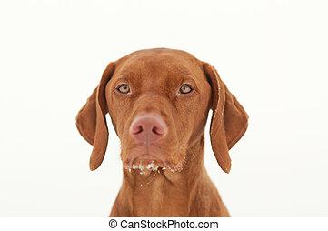 Vizsla Dog Portrait in Winter