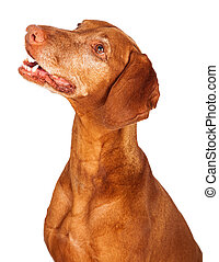 Vizsla Dog Profile Looking Up