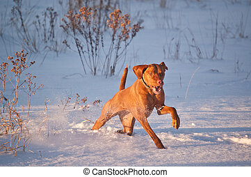 Vizsla Dog Running in a Snowy Field in Winter