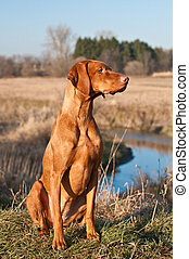 A female Vizsla dog sits in a field on the bank of a creek with trees and sky in the background.