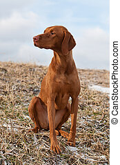 Vizsla Dog Sitting in a Snowy Field