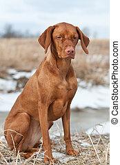 Vizsla Dog Sitting in a Snowy Field