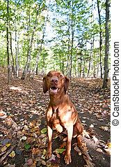 Vizsla dog sitting in autumn leaves