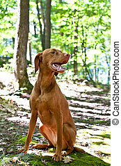 Vizsla Dog Sitting in the Forest