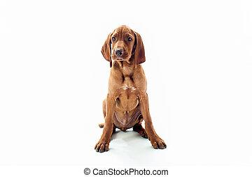 VIzsla dog sitting