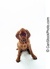 VIzsla dog sitting