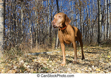 vizsla dog standing in the autumn forest
