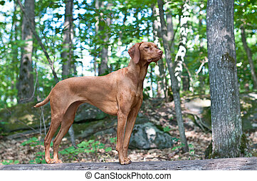 A Hungarian Vizsla dog stands on a log in a forest.