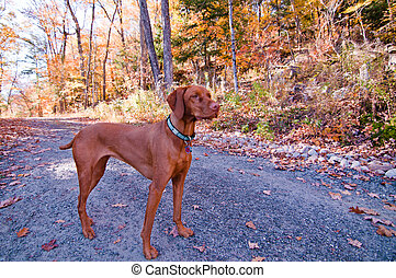 A Vizlsa dog stands on a gravel road in autumn.
