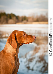 Vizsla (Hungarian pointer) Dog in Profile