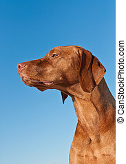 Vizsla (Hungarian pointer) Dog in Profile with Blue Sky
