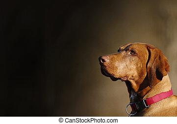 Vizsla, Hungarian pointer dog
