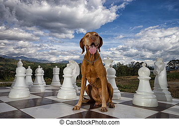 vizsla on chess board outdoors
