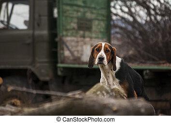vizsla, ország, kutya