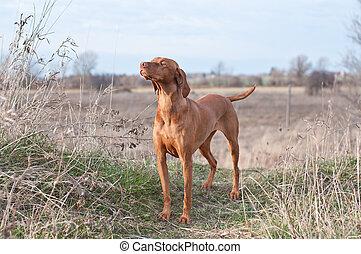 vizsla, perro, campo