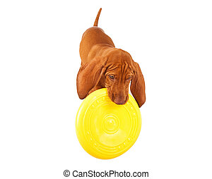 Vizsla Puppy Playing With Frisbee