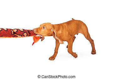 Vizsla Puppy Plays With Plush Toy
