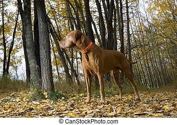 vizsla standing in forest