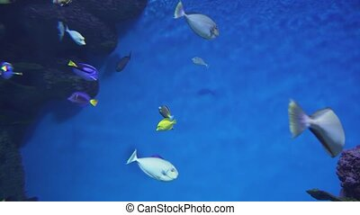 Vlaming's unicornfish in marine aquarium stock footage video...